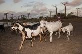 Kozy u Aleje baobabů