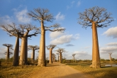 Alej baobabů u města Morondava