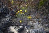 Tsingy de Bemaraha - Grand Tsingy - pachypodium
