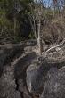 Tsingy de Bemaraha - pachypodia v část Petit Tsingy