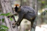 Tsingy de Bemaraha - Lemur rudočelý (Euilemur rufifrons)
