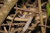 Tsingy de Bemaraha - Maki trpasličí (Microcebus murinus)