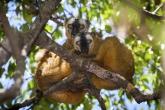 Tsingy de Bemaraha - Lemur červenavý (Euilemur rufus)
