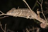 Tsingy de Bemaraha - Chameleon obrovský (Furcifer oustaleti)