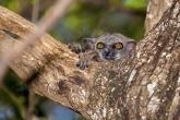 Tsingy de Bemaraha - Lemur drobný (Lepilemur ruficaudatus)