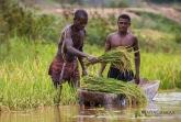 Tsiribihina - sklízení rýže