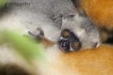 Sifaka velký (Propithecus diadema), rezervace Analamazaotra (národní park Andasibe-Mantadia)