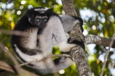 Indri (Indri indri), rezervace Analamazaotra (národní park Andasibe-Mantadia)