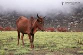 Zebu, národní park Andringitra