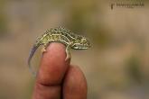 Chameleon třípruhý (Furcifer campani), národní park Andringitra