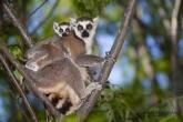 Lemur kata (Lemur catta), rezervace Anja