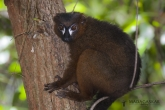 Lemur červenobřichý