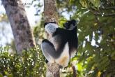 Indri (Indri indri), národní park Mantadia