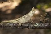 Brokesia růžkatá (Brookesia superciliaris), národní park Mantadia