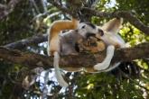 Sifaka velký (Propithecus diadema), národní park Mantadia