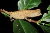 Brokesie růžkatá (Brookesia superciliaris), národní park Marojejy