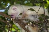 Sifaka bílý (Propithecus candidus), národní park Marojejy