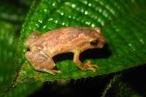 Malgaška rosničkovitá (Anodonthyla boulengerii), národní park Marojejy