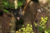 Lemur běločelý (Eulemur albifrons), národní park Marojejy