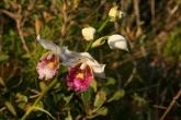 Orchidej pod vrcholem Marojejy