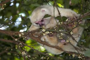 Sifaka bílý (Propithecus candidus), Národní park Marojejy, Madagaskar