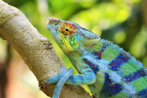 Chameleon pardálí - park Peyrieras