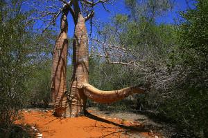 Baobab - rezervace Reniala