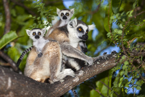 Lemur kata - rezervace Anja