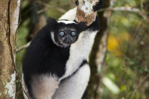 Indri - rezervace Analamazaotra