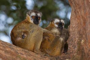 Lemur červenavý - rezervace Vakona Forest