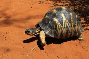 Želva paprsčitá - rezervace Reniala
