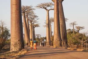 Alej baobabů u Morondavy